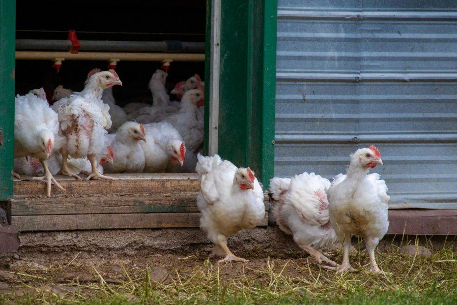 Poulets bio, Viandes biologiques charlevoix