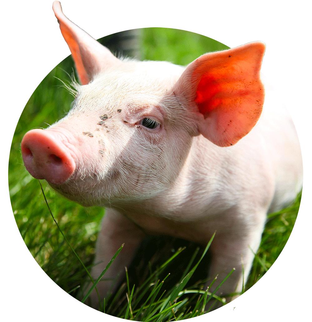 Porcs bio, Viandes biologiques charlevoix