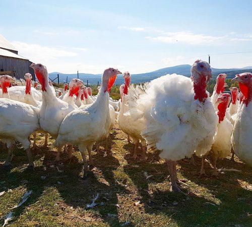 Nos élevages, dindes bio, Viandes biologiques charlevoix