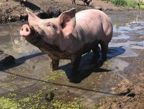 Nos élevages, Porcs bio, Viandes biologiques charlevoix